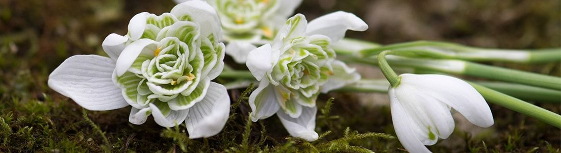 How to Photograph Snowdrops